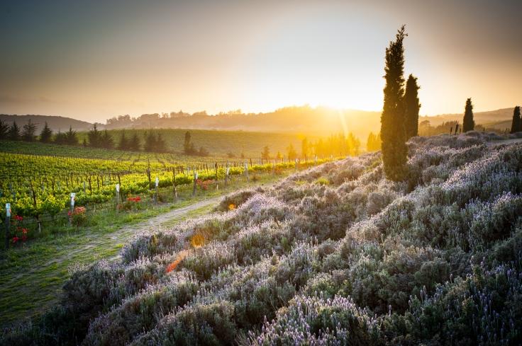 hall-vineyard-lavender
